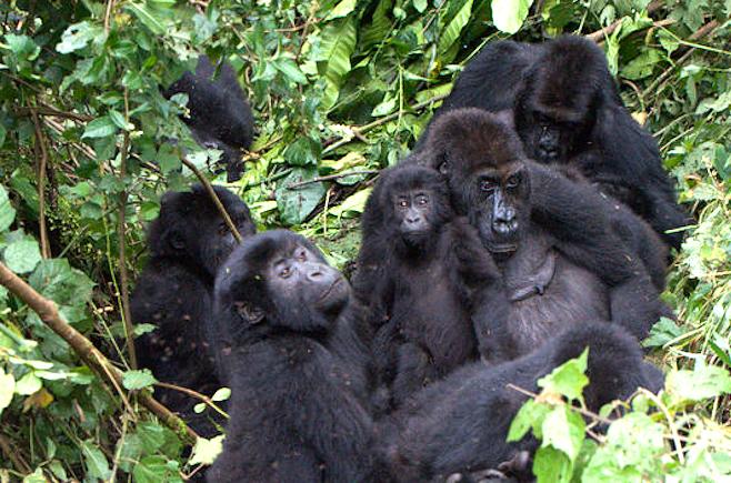 africangorillas