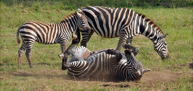 zebra-kidepo