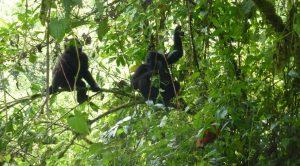 Gorillas in Bwindi Impenetrable National Park - Uganda