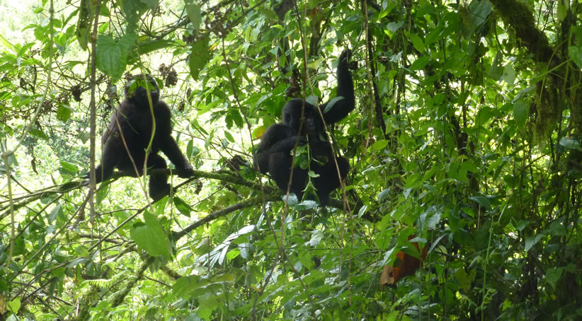 Gorillas in Bwindi Impenetrable National Park - Uganda
