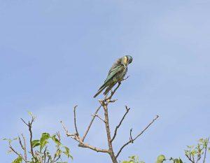 Eurasian Bee-eater in Murchison Falls National Park in Uganda