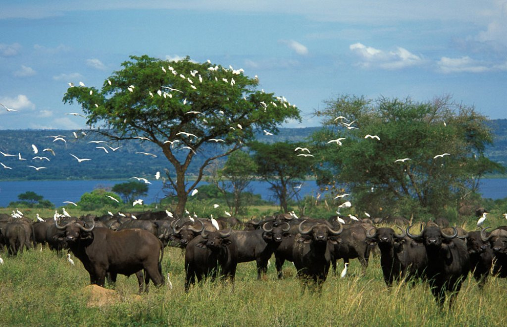 Buffalo Herd - Murchison falls National Park