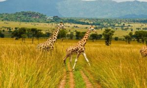 Giraffes in Kidepo National Park