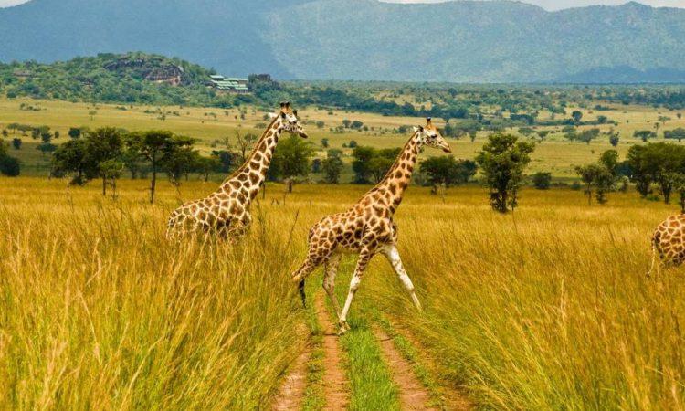 Giraffes in Kidepo National Park
