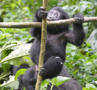 Gorilla trekking and Habituation Experience in Uganda