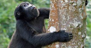 Mountain Gorilla Safari in Uganda