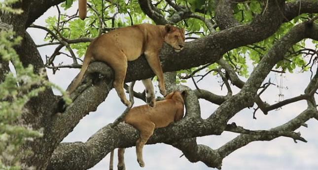 Ishasha Tree Climbing Lions in Uganda