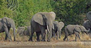 African Elephant on Uganda Tour
