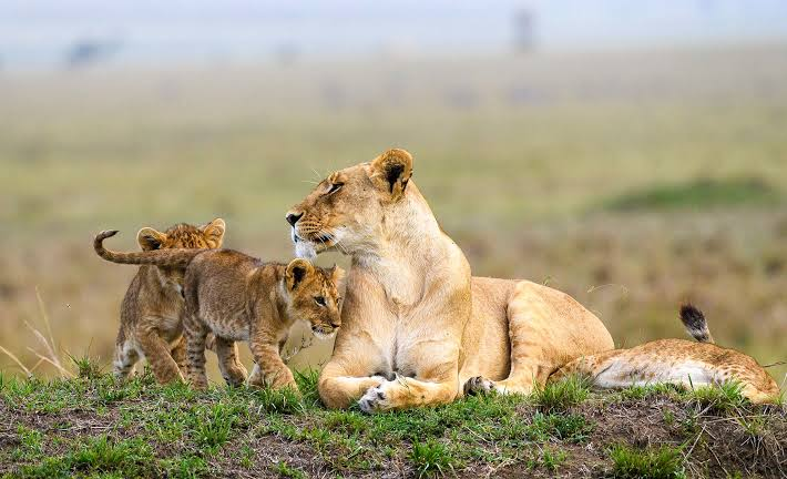 Lions in Masai Mara Game Reserve